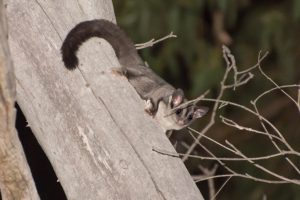 Sugar gliders have been spotted coming out of their den tree in section 66 at dusk and moving across the trees nearby.